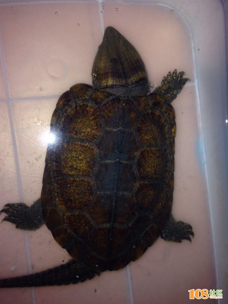 山上捡到长相奇特的乌龟