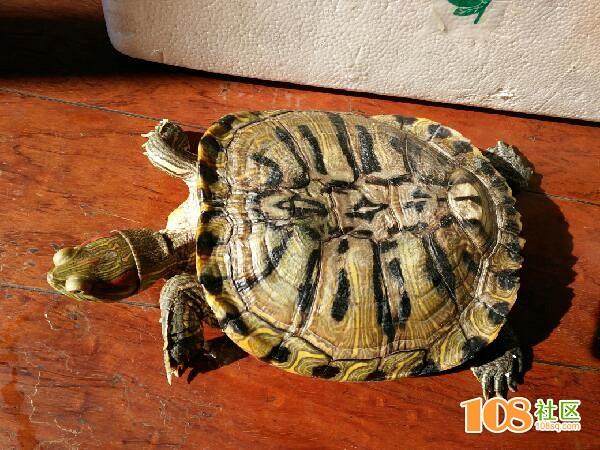 可爱的巴西龟
