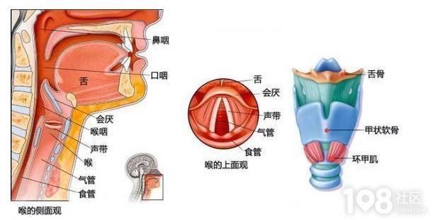喉咙正面结构图