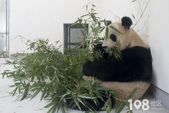 """上海野生动物园熊猫母子""""帼帼""""""""花生""""突发病死亡"""