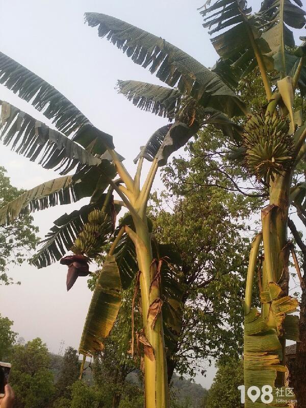 芭蕉树上结果子