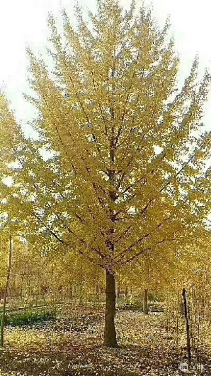 精品造型黄杨树,原生态黄杨,银杏树石榴,热线13952122138