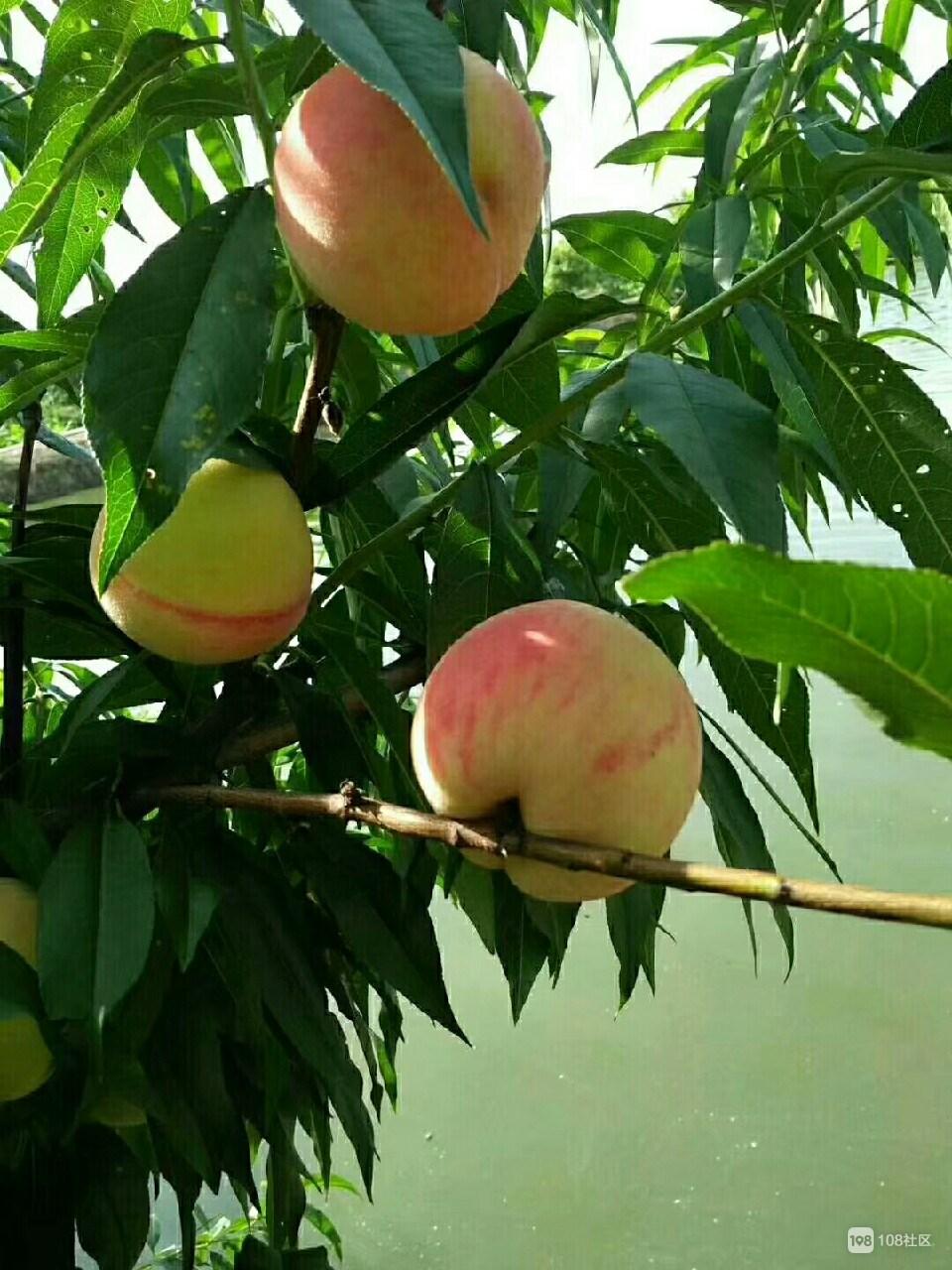水蜜桃成熟时