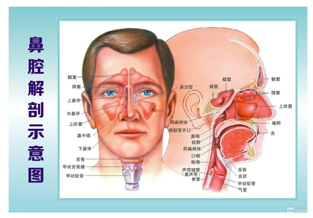 鼻腔和咽喉结构图