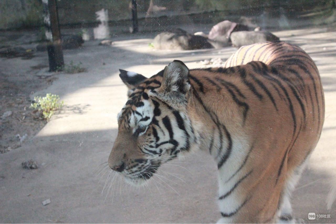 嵊州虎居动物园之东北虎篇