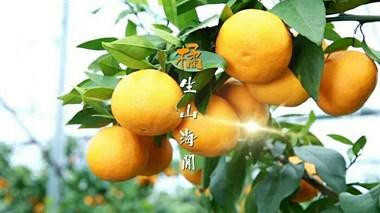 象山红美人柑橘