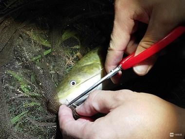 社友在海涂钓到米级野生大鲈鱼!估计以后都难再有了