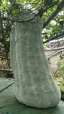 【不看不睡觉】老爸种的124斤大冬瓜,这是成精了吧!