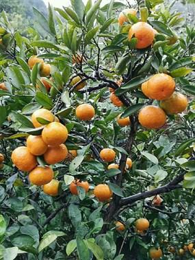 卖橘子啦!