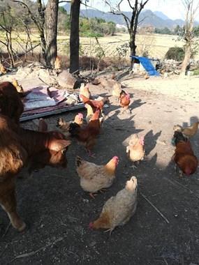 老母鸡!卖卖卖!!!