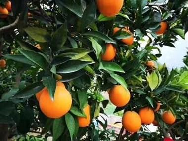 买橙子助农献爱心