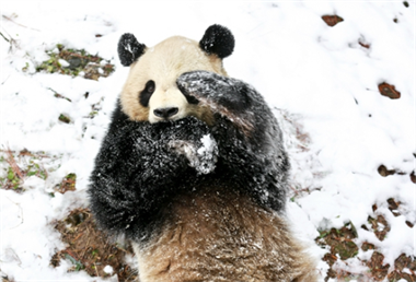 萌态十足!这场雪可让竹博园的熊猫玩疯啦,一直滚滚滚…