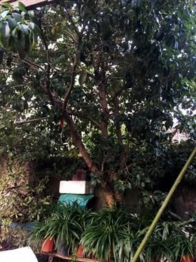 寻找有缘人自家种了10多年的桂花树忍痛转让