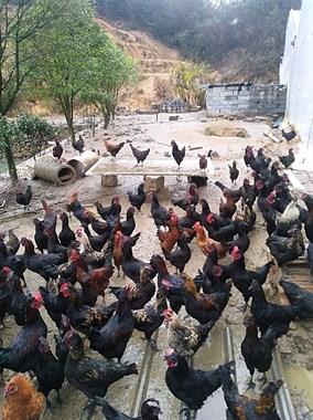 100来只五黑五爪土鸡