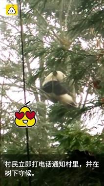 熊猫树上睡觉,四川人爆笑尬聊1小时
