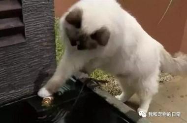 这只猫真的太佛系了,第一次见这种不喜欢鱼的猫!
