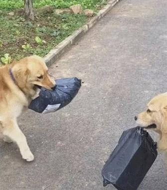 金毛拿快递的时候遇到同行,还用眼神交流下:好巧,你也来拿快递啊!