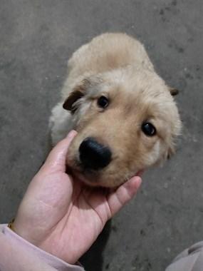 【转卖】两个月大的金毛母狗。五百块便宜卖