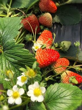 阳光明媚,和闺蜜相约摘草莓!
