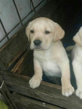 【转卖】出售纯种拉布拉多犬