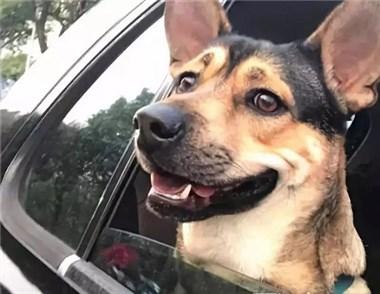 狗狗有对米老鼠般的大耳朵,真相居然是......