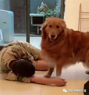 养了一猫一狗,当主人突然晕倒的时候,金毛和猫咪的反应差别真大!