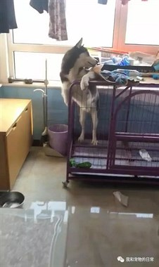 出门将哈士奇关在笼子里,回来看到眼前这幕,这狗真的是要成精!