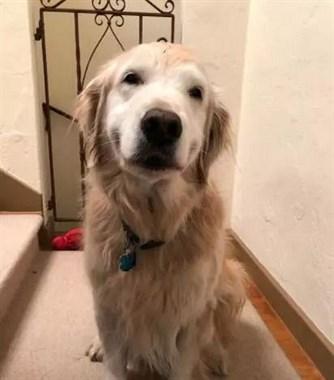 铲屎官刚打开门,就看到11岁的大金毛露出了超迷人的微笑...