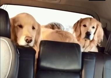 """铲屎官说了句""""谁饿了"""",结果空无一狗的后排突然出现了..."""