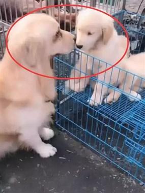 金毛在狗市认出了自己的孩子,瞬间哭红双眼,可怜天下父母心
