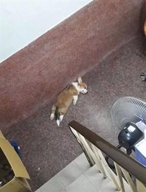 主人看到柯基昏倒在楼梯间,以为发生命案,结果走近一看笑喷了....