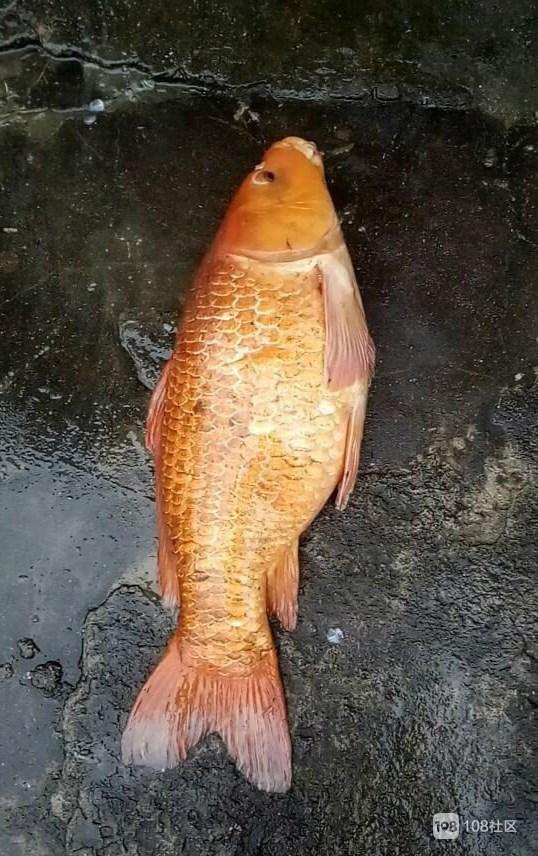 村里赶鱼塘有惊喜!捞上两条30斤青鱼,还有神奇的红鲤鱼…